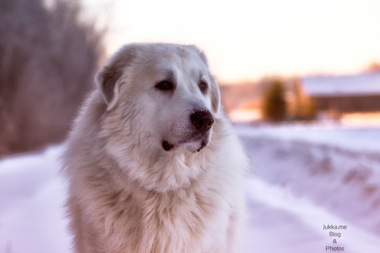 snow dog, great pyrenees called Giusto enjoys outdoors on the field