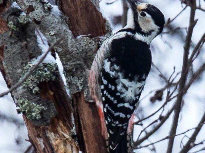 White-backed Woodpecker, valkoselkätikka