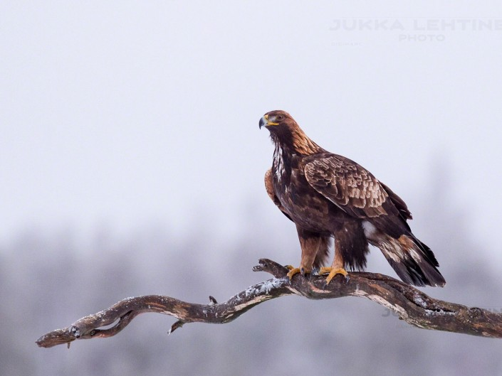 Golden Eagle – maakotka