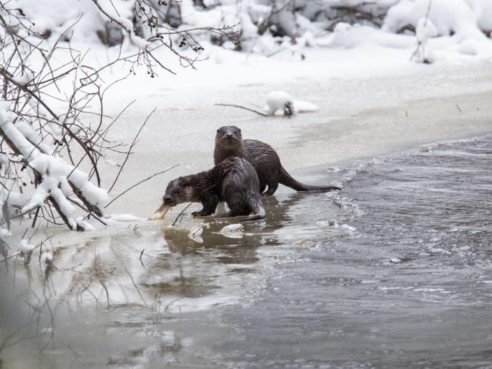 Otter – saukko