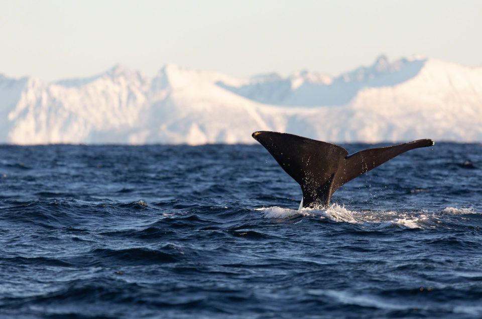 Whale watching in Norway