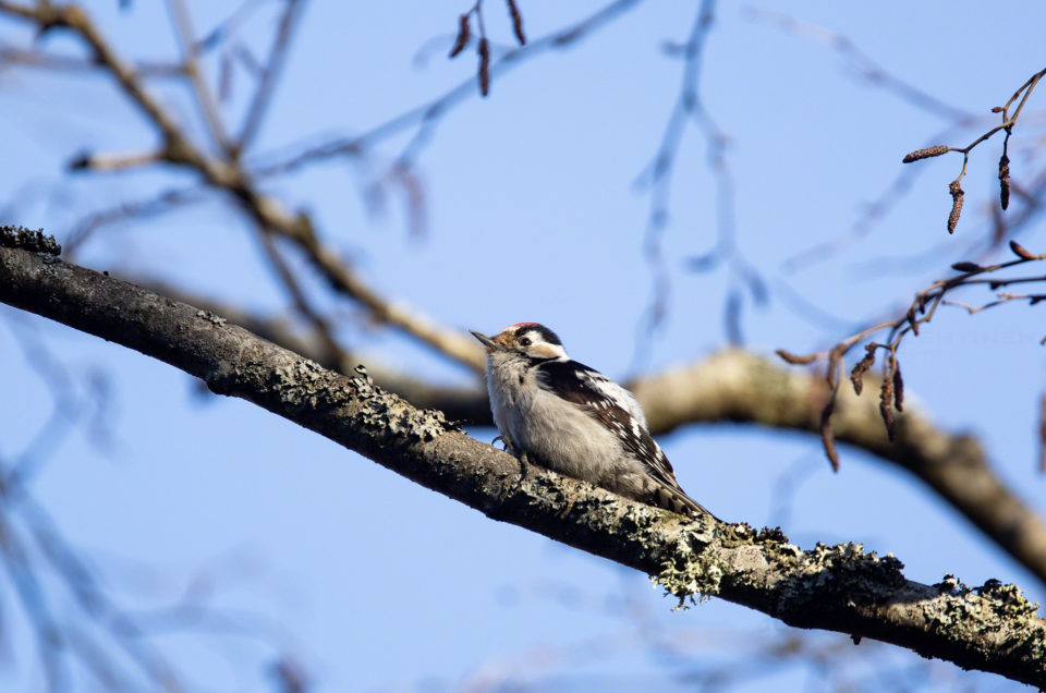 Pikkutikka, Lesser Spotted woodpecker
