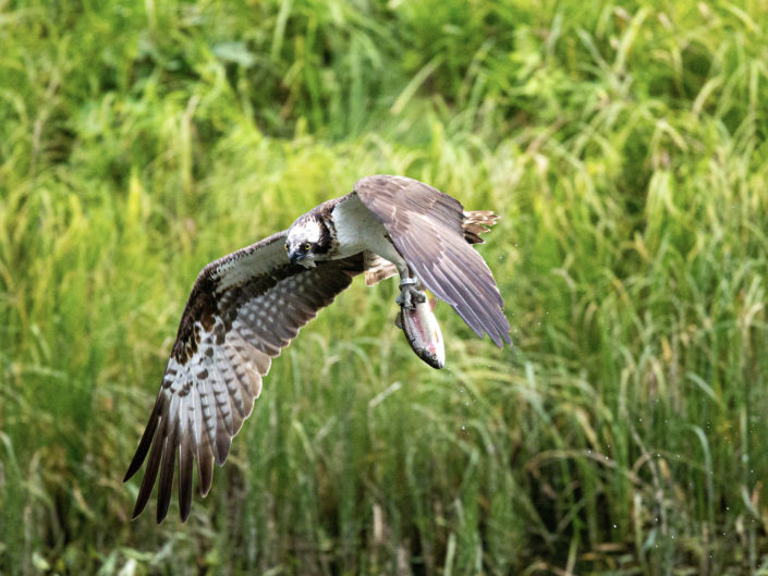 One dive in a life of a osprey