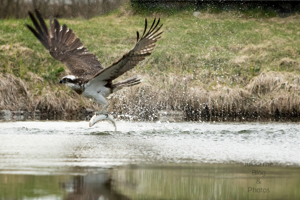 Osprey with the catch