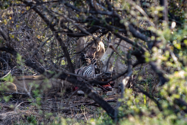 lion hunt, zebra kill