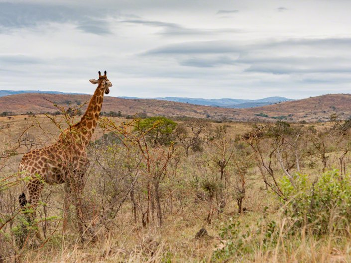 South Africa, giraffe