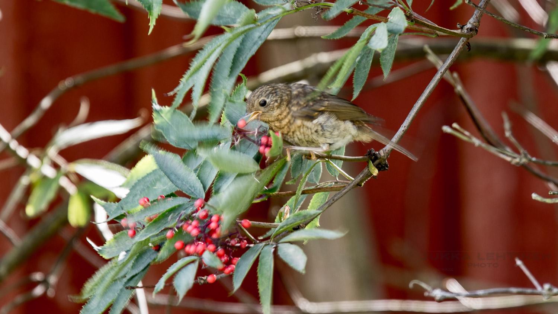 robins feeding from berry bush