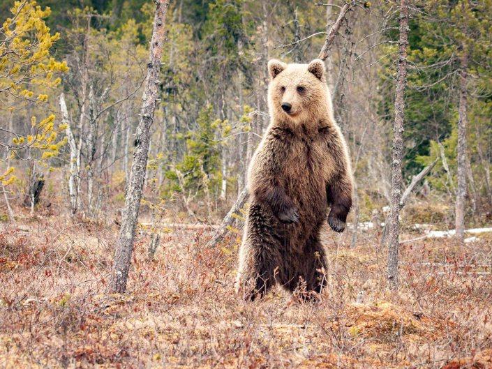Brown Bears in Martinselkonen