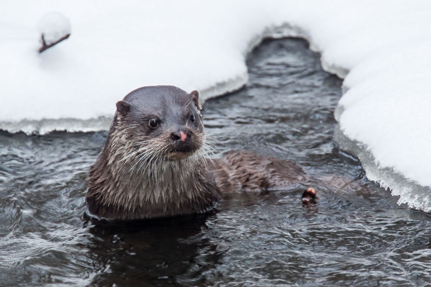otter in the river vantaa