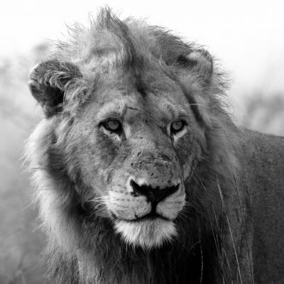 lion3000px