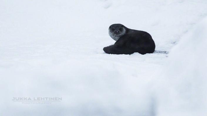 Otter having a lunch – saukko kalassa
