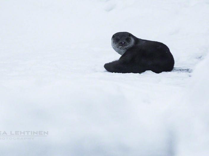 Saukko Nukarinkoski – Otter part II