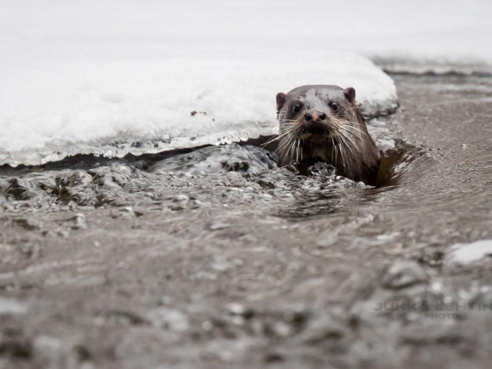 Otter | Saukko Nukarinkoski