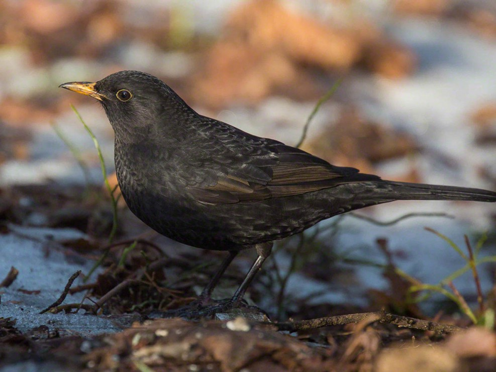 Blackbird, mustarastas