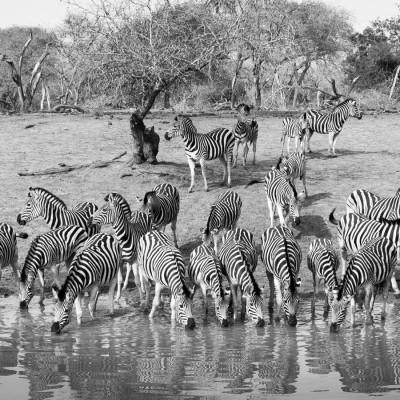 dazzle-of-zebras