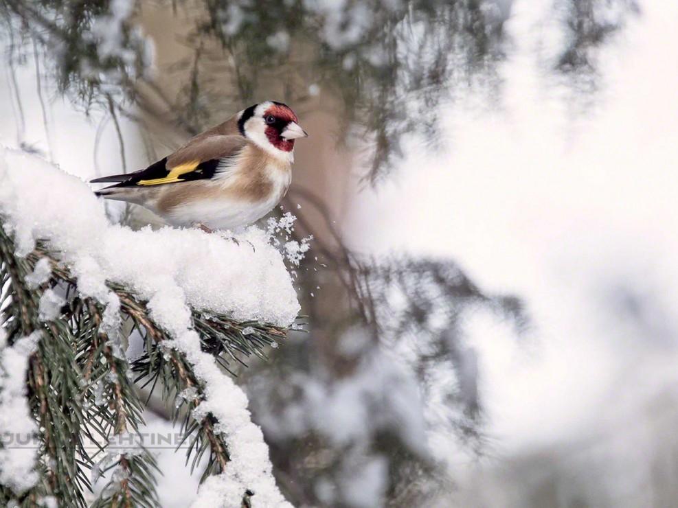Goldfinch-tikli