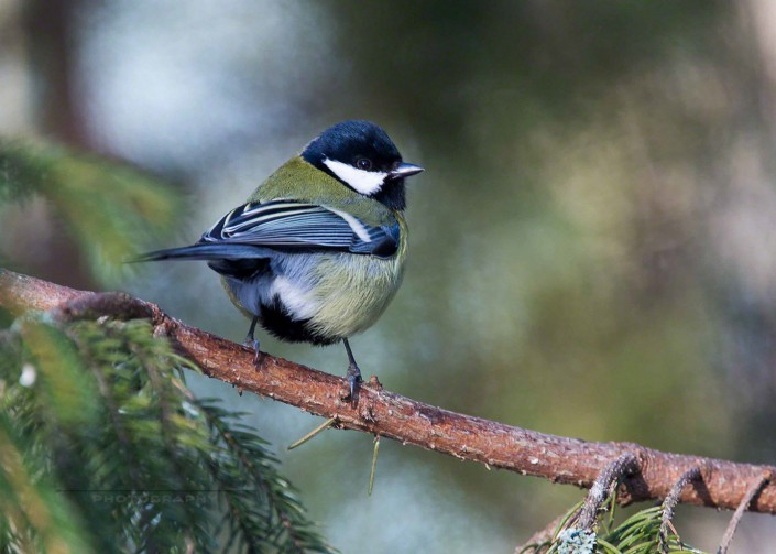great tit, talitintti