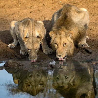 wild lion at the waterhole