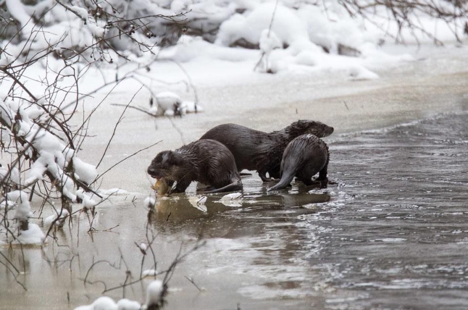 Otters - saukot