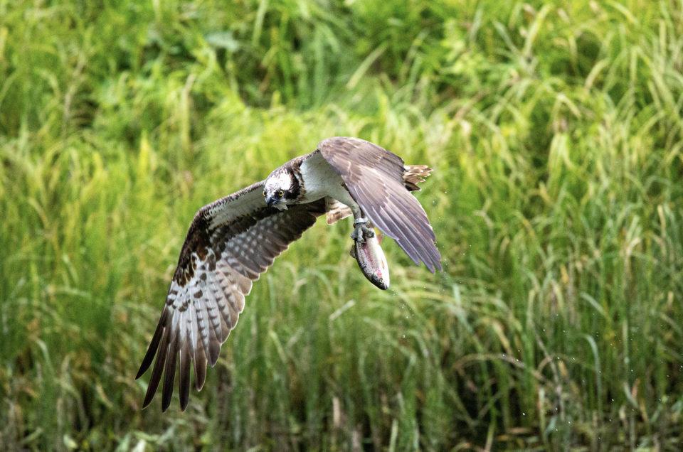 Osprey dive